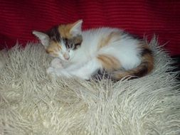 Multicolored kitten on a fluffy rug