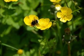 bee pollinates small yellow flowers