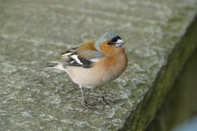 tiny chaffinch