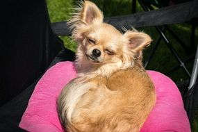 Chihuahua basking in the sun on the pink pillow