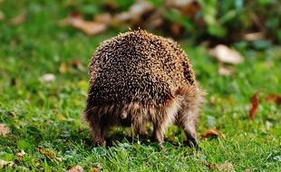 hedgehog goes on a green meadow