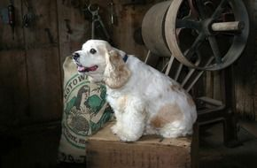 white spaniel sits on a box