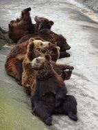 five young brown Bears playing at water stream