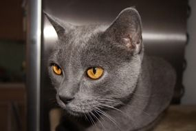 grey domestic Cat with yellow Eyes