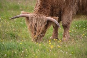 buffalo eating grass in a meadow