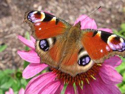 Peacock butterfly on pink spring flower