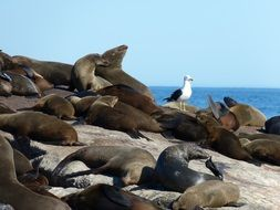 seals in South Africa