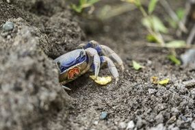blue crab under the stone close-up