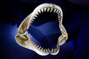 shark jaws skeleton
