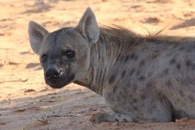 portrait of a hyena in the desert