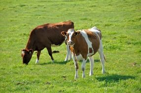 domestic cows on pasture
