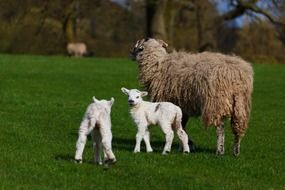 sheep with lambs on pasture
