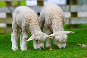 grazing lambs in New Zealand