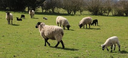 farm sheep in countryside in spring