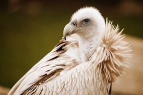 portrait of a white vulture