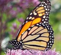 monarch butterfly on the pink fluffy flower