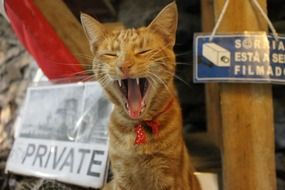 red cat yawns