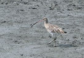 Eurasian curlew in India