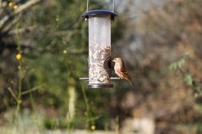 linnet eating from a feeder