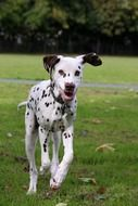 dalmatian runs on green grass