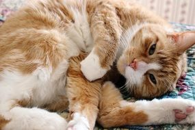 ginger domestic Cat Relaxed