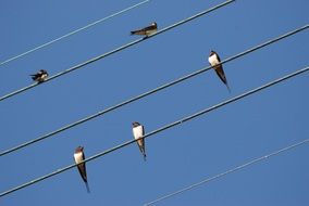 swallows sit on wires