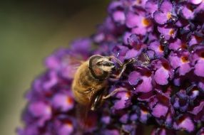 Macro photo of honey bee on a bloom