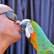 parrot ara kisses man