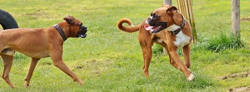 two playful boxer dogs in good aiderbich