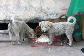 two street dogs are eating food