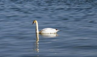 lonely swan on the Lake Constance