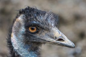 Emu Flightless Bird