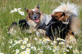purebred dogs on a green meadow