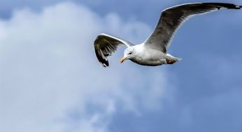 graceful seagull in flight