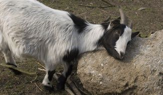 goat on a stone in a zoo