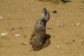 meerkat on the sand on a sunny day