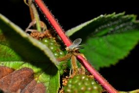 fly in raspberry bush