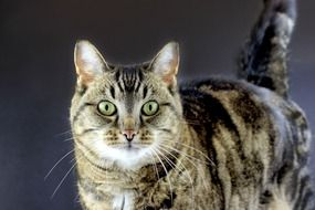 Tabby Cat with green Eyes portrait