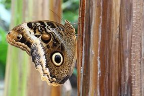 owl butterfly on the tree trunk