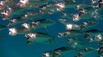 flock of fish in the red sea