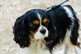 leashed cavalier king charles spaniel