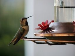 little hummingbird sitting on a water bowl