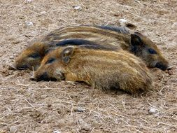 Boar Little Pig Three Nature