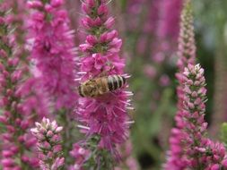 bee on pink lupins close up