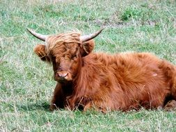 funny fluffy Cow laying in meadow