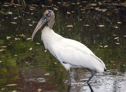 endangered white stork, florida