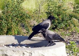 foraging crows