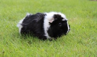Guinea pig on meadow