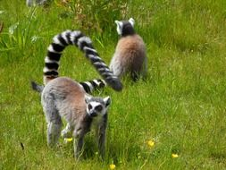 ring tailed lemurs on the green meadow