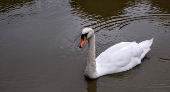 White Swan in pond swimming